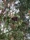 Koala Bear!