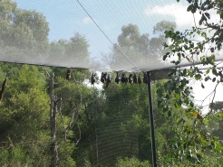 Fruit Bats (aka Flying Foxes)